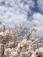 四谷桜.JPG